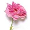 Isparta Rose Image
